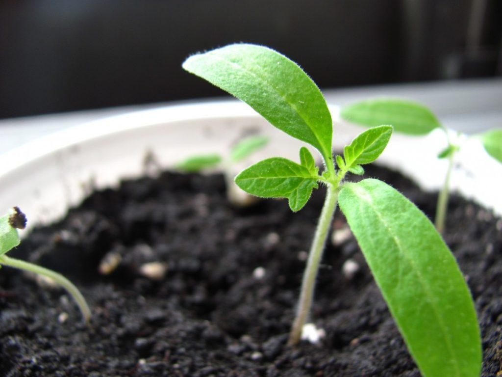 Semis avec graines de tomates