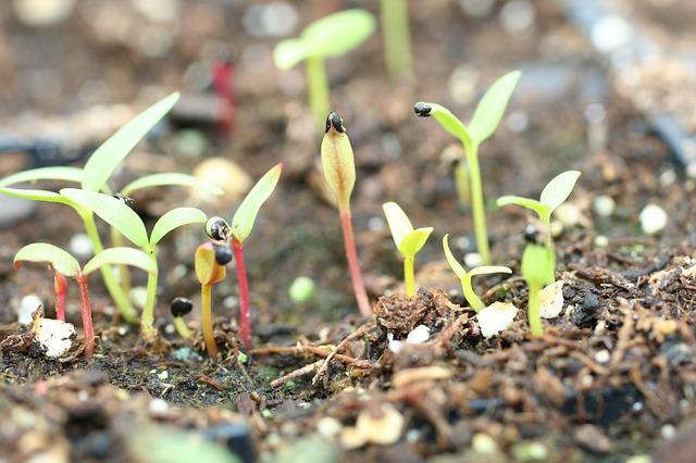 la levée des semis