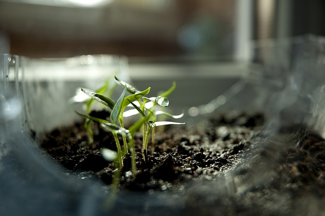 semer ses graines : les  semis apparaissent